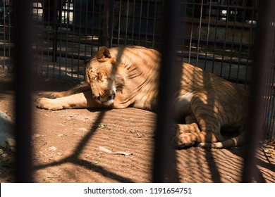 Big Lion in the cage in the zoo