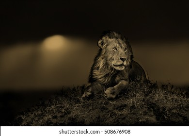 Big Lion Earless, son of legendary Lion Notch, in Masai Mara, Kenya