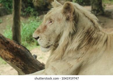 Big Lion face.