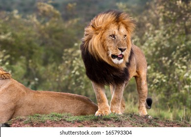 Big Lion King Lipstick watched as one of his lionesses chased away three cheetahs from his territory in Masai Mara, Kenya