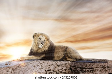 Big lion lying on rock, with a sunset background.
