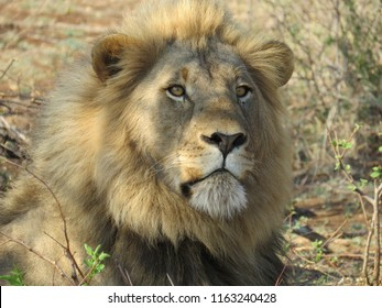 Big Lion at Madikwe, South Africa