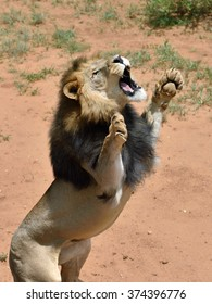 Big lion male stands on his hind legs holding up the front paws and looking up. Etosha National Park, Namibia