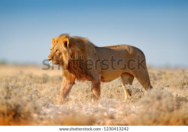 Big lion with mane in Etosha, Namibia. African lion walking in the grass, with beautiful evening light. Wildlife scene from nature. Animal in the habitat.