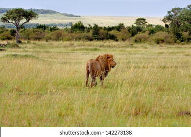 Big Lion on the way to his pride in the beautiful landscape of Masai Mara, Kenya