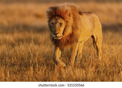 Big Lion Romeo II, leader of Double Cross Pride, in Masai Mara, Kenya