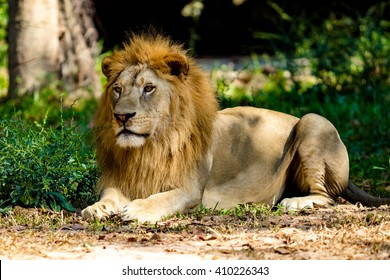 Big lion sitting in the zoo