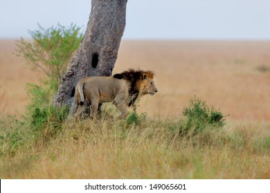 Big Lion, son of the famous Lion Notch, on the way to his family near Ol Keju Rongai River in Masai Mara, Kenya