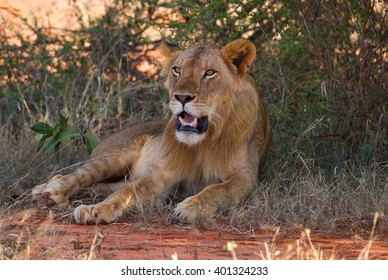 Big lion under the tree on african savannah