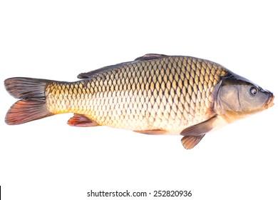 Big live fish carp on a white background