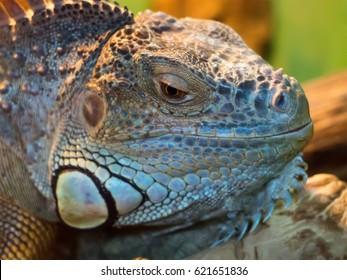 The big lizard lies on the rocks