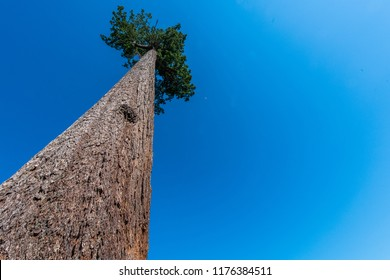 Big Lonely Doug, Douglas Fir, Vancouver Island - British Columbi