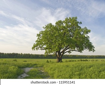 The big lonely oak  tree on a green meadow against the  cloudy blue sky.