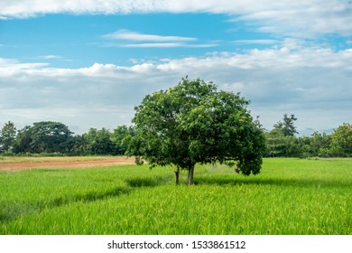 The big lonely shade tree in the green rice field with the blue sky and white cloud in the sunny day.