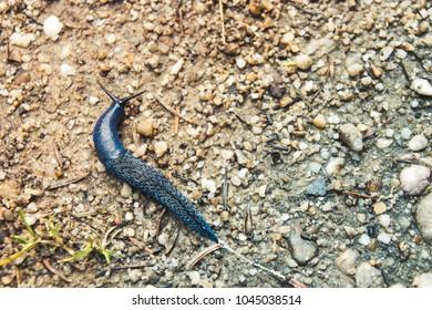Big long blue slug crawling on the ground with close-up