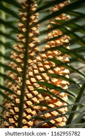 Big long brown cones of a cycas, or fern palm, or sago plant, are seen through pinnate palm-like leaves. Cycads are seed plants called living fossils as they were spread widestly in the dinosaurs time