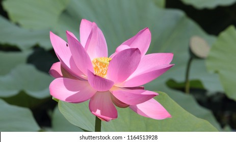 Close up lotus blossom waterlily ez canvas big lotus flower close up on green leaves background mightylinksfo