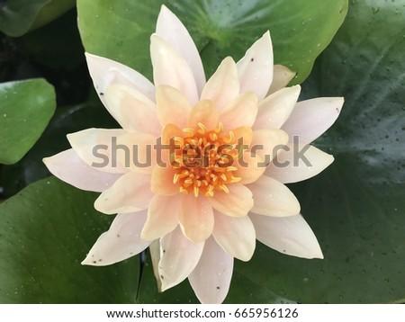 Big lotus flower pond stock photo edit now 665956126 shutterstock big lotus flower in the pond mightylinksfo