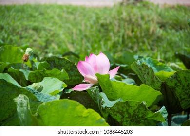 Big lotus flower images stock photos vectors shutterstock the big lotus in lotus pondlotus park lotus and road lotus in mightylinksfo Image collections