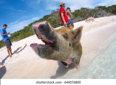 BIG MAJOR SPOT, EXUMAS/BAHAMAS – MAY 30, 2016: Swimming wild pigs begs for food  on the beach, for the tourists who come to see them.