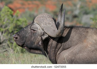 Big male African buffalo with large curved horns
