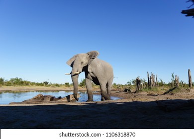 Big male African elephant (bull) enjoying a drink and a cool down at a waterhole, Botswana.
