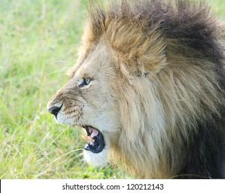 Big male African lion, Masai Mara, Kenya