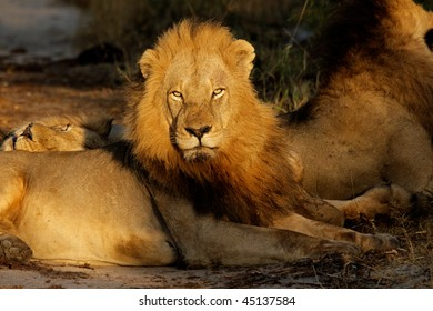 Big male African lion (Panthera leo) resting in early morning light, South Africa
