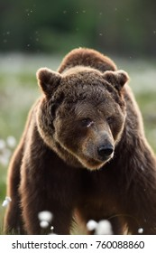 Big male bear face with scars