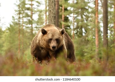 big male bear in forest