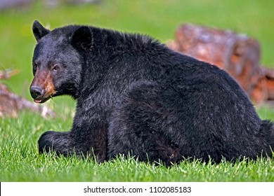 Big male Black Bear laying in spring meadow, watching