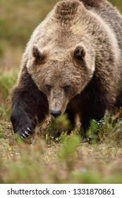 Big male brown bear approaching in the forest. Bear claws.