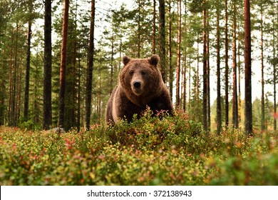 Big male brown bear in autumn forest