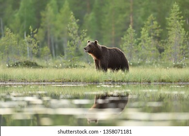 Big male brown bear in a bog with forest background