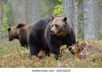 Big male brown bear with other bear in the background