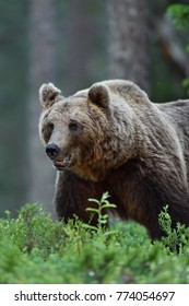 Big male brown bear portrait in the forest