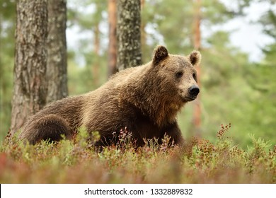 Big male brown bear resting in forest landscape. Bear lying on the ground in forest.