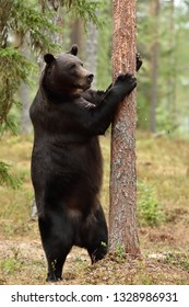 Big male brown bear standing and grabbing a tree