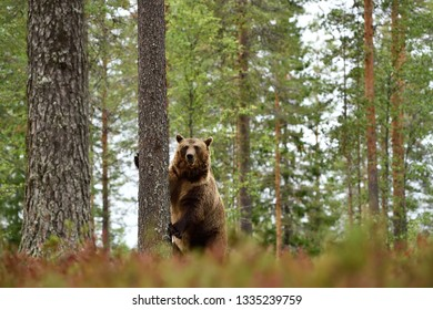 Big male brown bear standing in forest lanscape