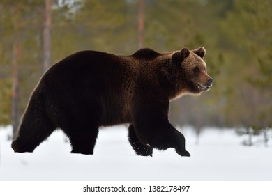 Big male brown bear walking on snow at spring