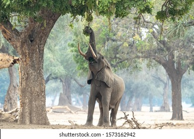 A big male bull elephant stretches up his trunk to feed on a favourite food, the fruit of the sausage tree, properly known as the Kigelia tree. The sausage shaped fruits are as hard as concrete!