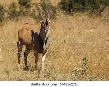 a big male eland among orange and yellow grasses and bushes in Zimbabwe