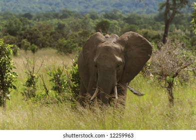 Big male elephant coming out of the bush
