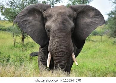 big male elephant going toward photographer