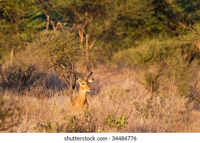 Big male grants gazelle in the bushes on the outlook