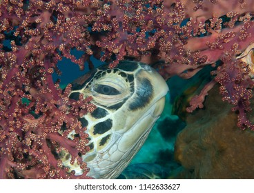 Big male green sea turtle (Chelonia mydas) rests between corals of Bali