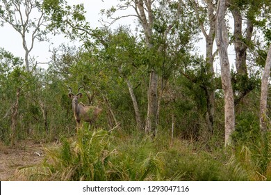 A big male kudu bull antelope shows off his big horns in this side view