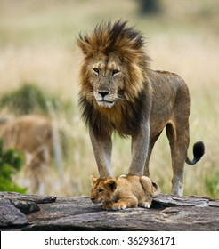 Big male lion with cub. National Park. Kenya. Tanzania. Masai Mara. Serengeti. An excellent illustration.