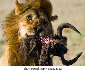 Big male lion with gorgeous mane eating prey. National Park. Kenya. Tanzania. Maasai Mara. Serengeti. An excellent illustration.