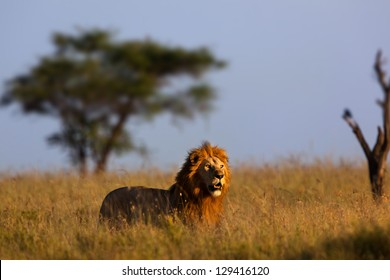 Big Male Lion In Morning Light Serengeti